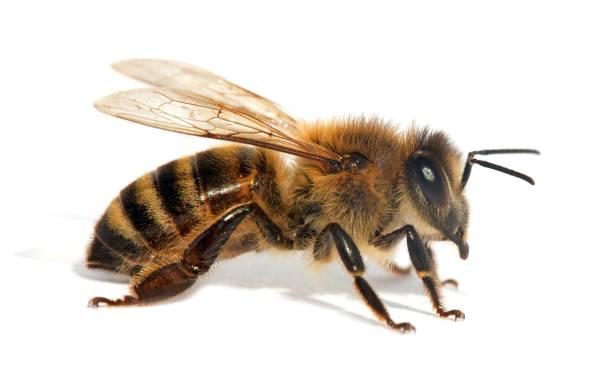 bee or honeybee in latin apis mellifera - ape domestica foto e immagini stock