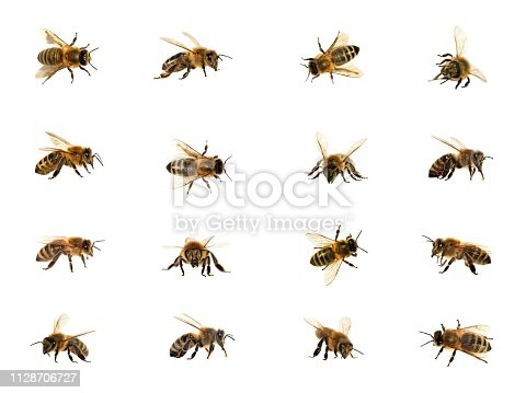 group of bee or honeybee in Latin Apis Mellifera, european or western honey bees isolated on the white background, golden honeybees