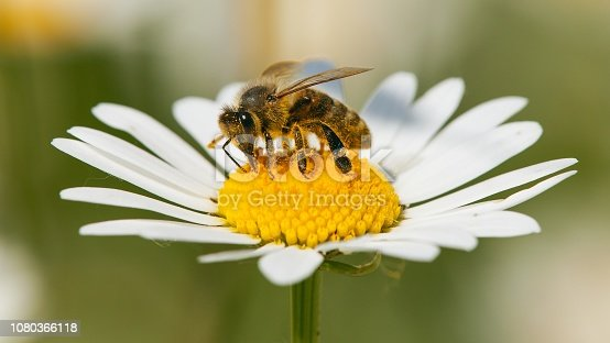 detail of bee or honeybee in Latin Apis Mellifera, european or western honey bee sitting on white flower of common daisy