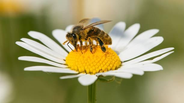bee of honingbij op witte bloem van gemeenschappelijke daisy - bestuiving stockfoto's en -beelden
