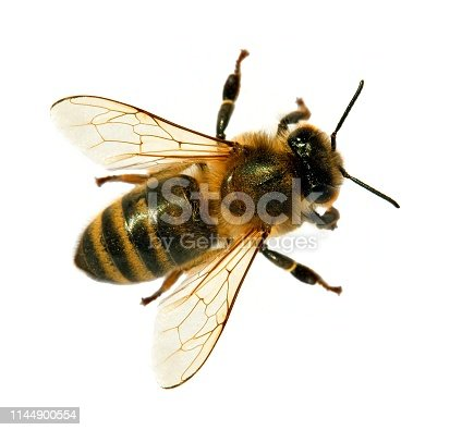 istock bee or honeybee or honey bee isolated on the white 1144900554