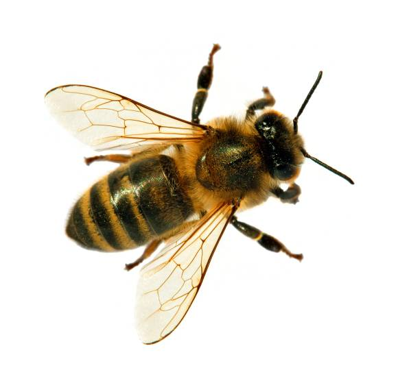 bee or honeybee or honey bee isolated on the white - arto di animale arto foto e immagini stock