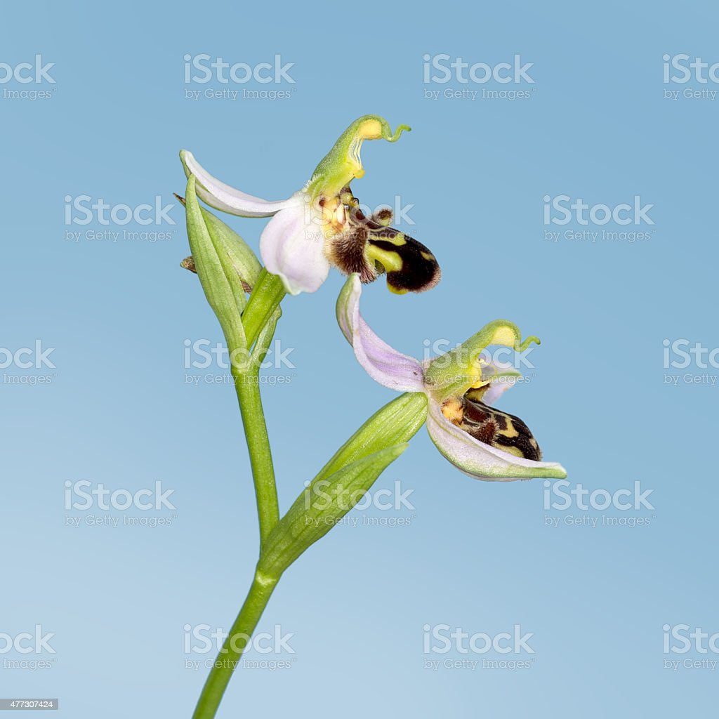 Bee orchid detail over sky blue. Ophrys apifera. Natural mimicry, stock photo