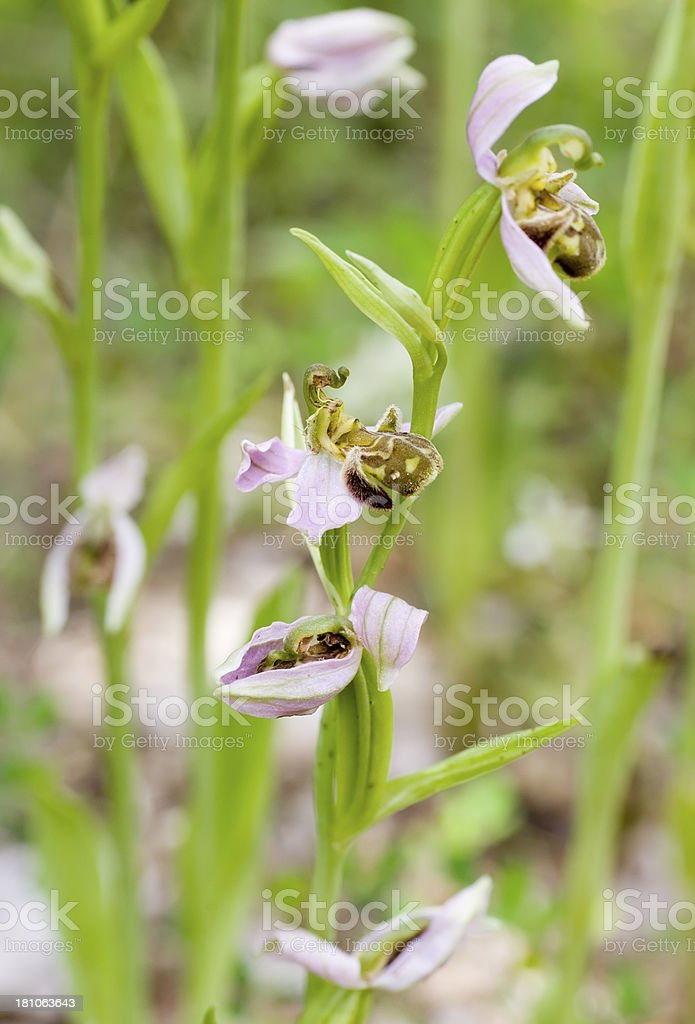 Bee Orchid (Ophrys apifera) royalty-free stock photo