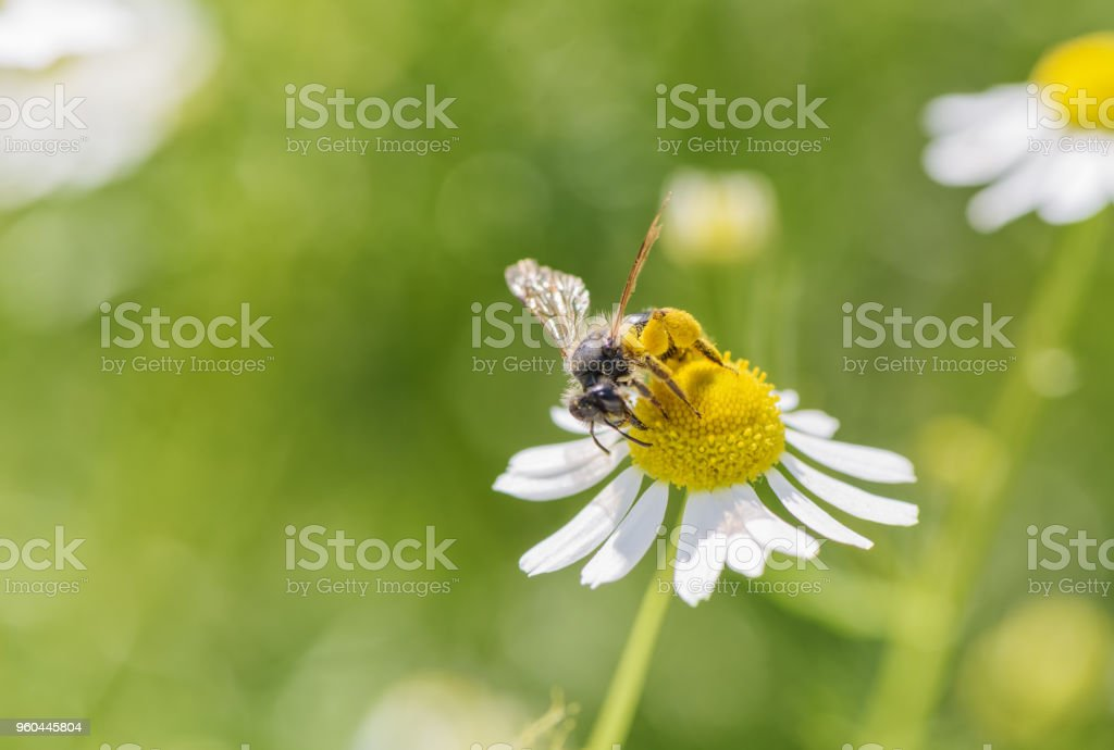 Bee picking pollen chamomile flower. Beauty natural background. stock photo