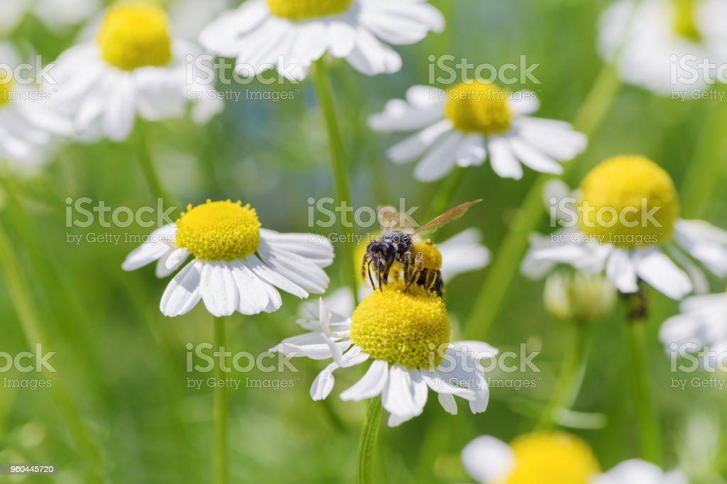Bee picking pollen chamomile flower. stock photo