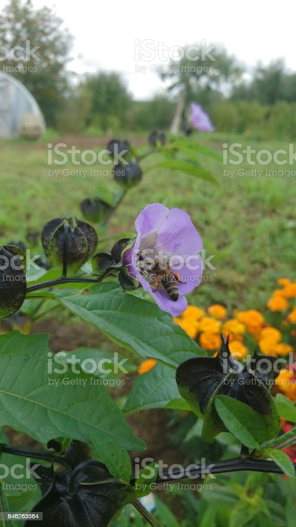 Bee picking pollen in violet ring stock photo