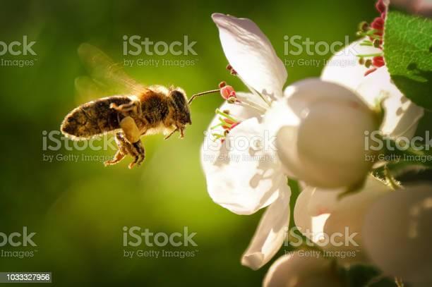 Bee picture id1033327956?b=1&k=6&m=1033327956&s=612x612&h=dugegg4apfsrz83mi3qbhnoanehwlqwocidxqchsn6k=