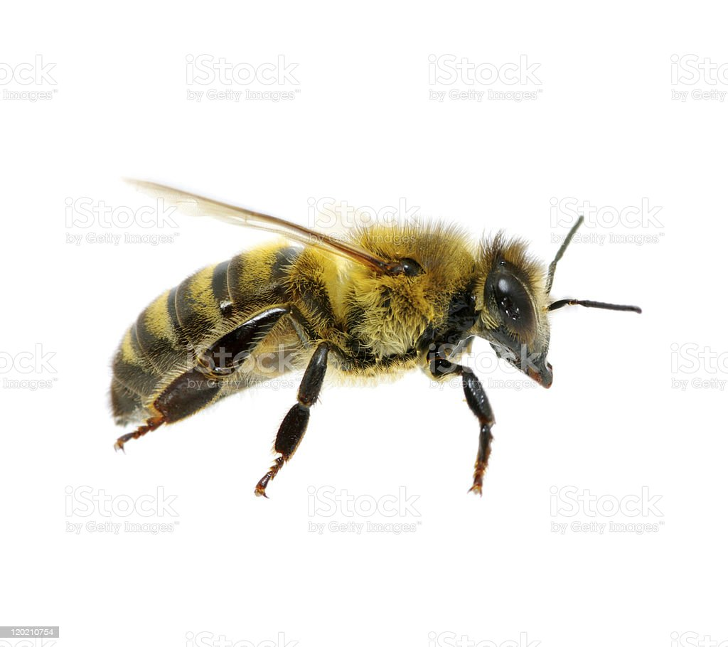 bee bee in flying on white Animal Stock Photo