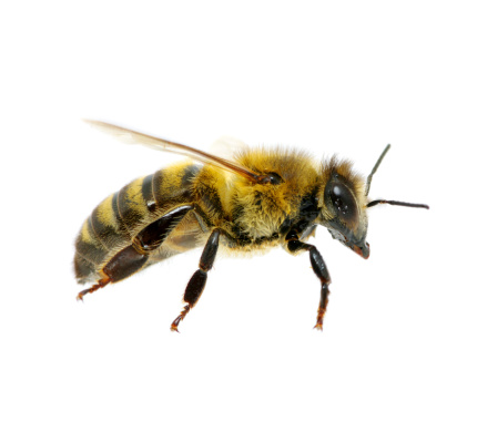 Bee Stock Photo - Download Image Now