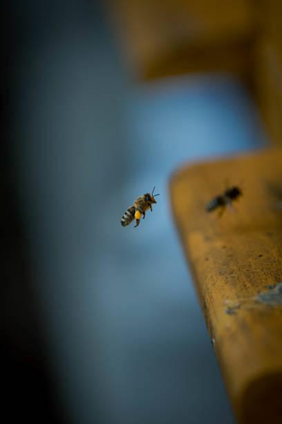 Bee picture id1303374336?b=1&k=6&m=1303374336&s=612x612&w=0&h=4dm2wlvty5pn1s tcy0u48zzmuyrkbvgkyzijy89gqy=