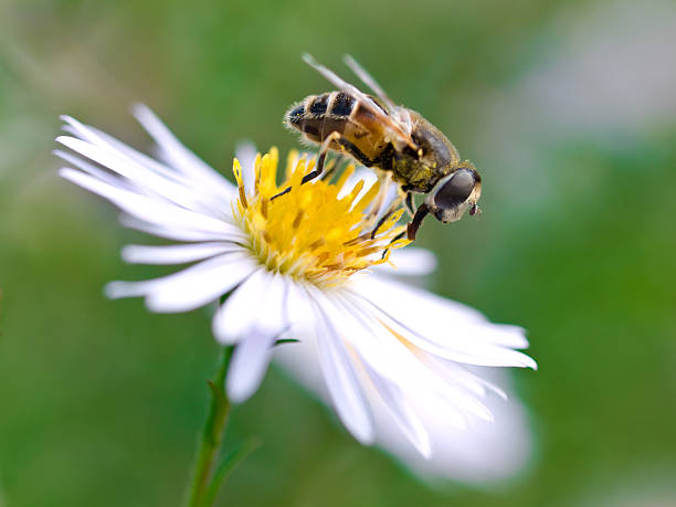 bee close up of bee on white flower invertebrate stock pictures, royalty-free photos & images