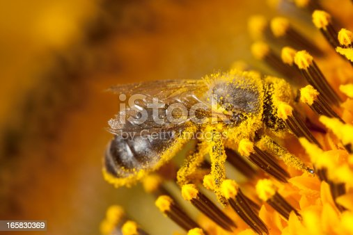 Bee collecting pollen from a sunflower.