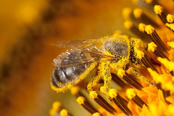 pszczoła - pyłek zdjęcia i obrazy z banku zdjęć