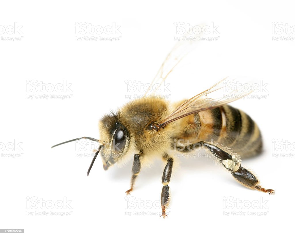 Bee royalty-free stock photo