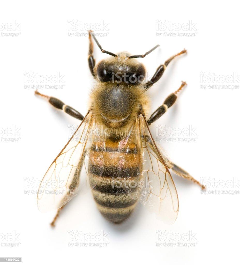 Pszczoła – zdjęcie