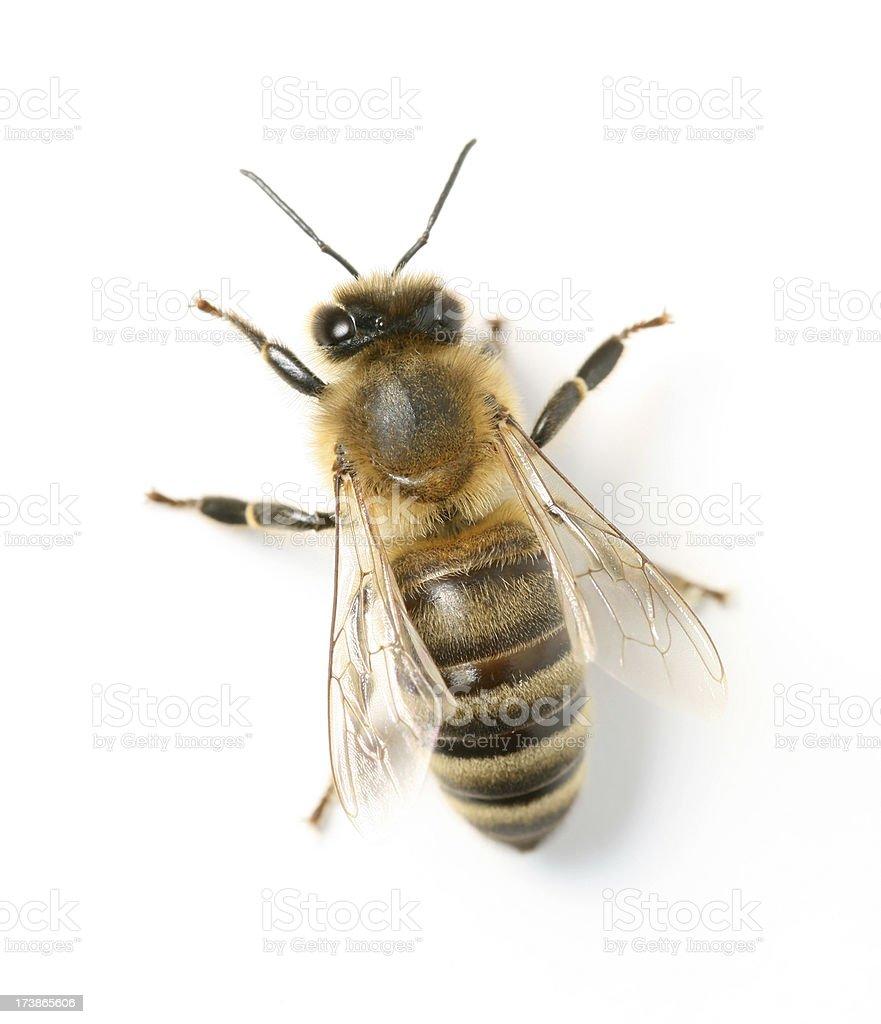 Biene Stock-Fotografie und mehr Bilder von Apis   iStock