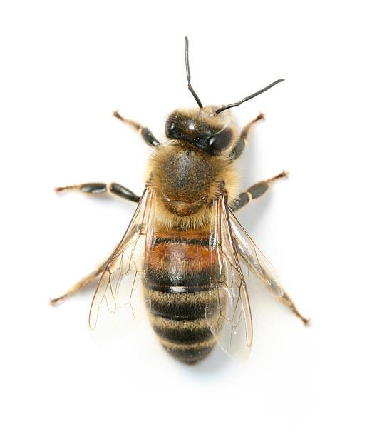 abeja - bee fotografías e imágenes de stock
