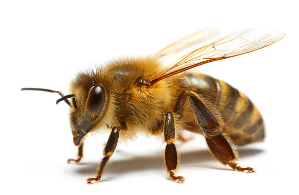 Royalty Free Honey Bee Pictures, Images and Stock Photos ...