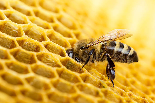 bee - animals in the wild stock pictures, royalty-free photos & images