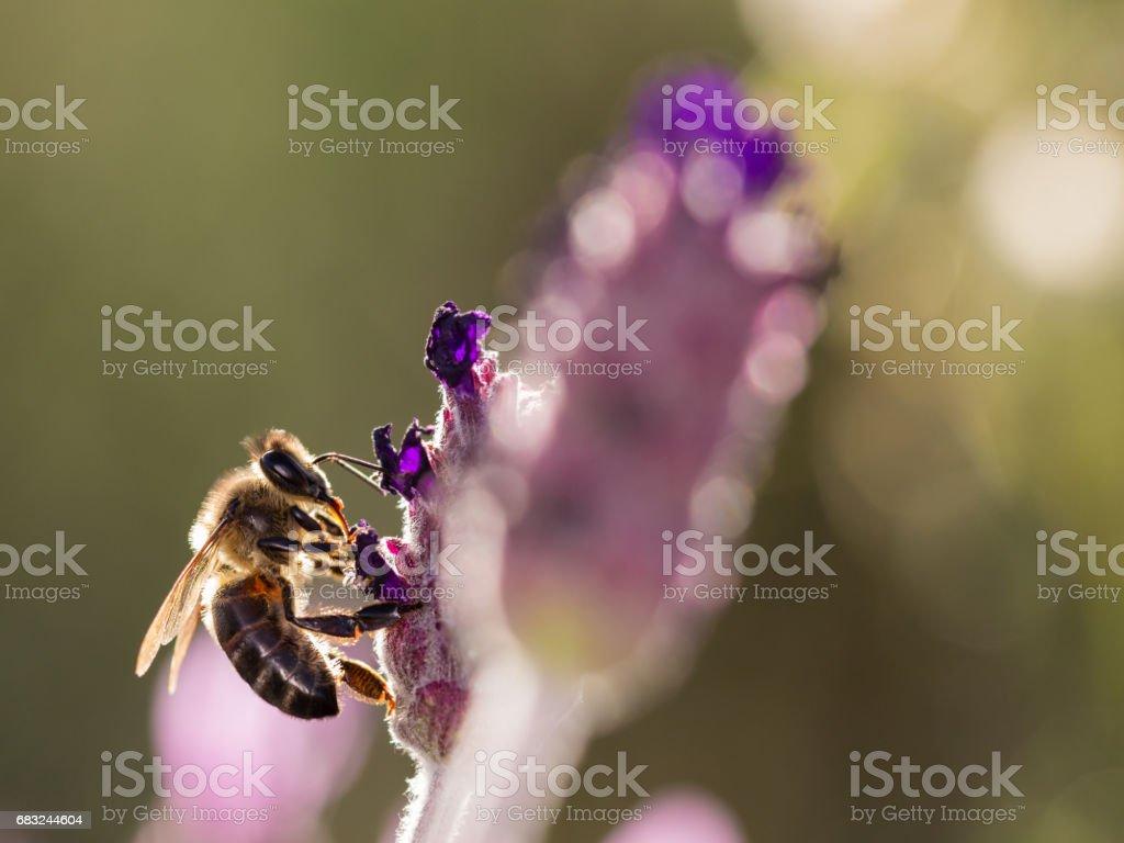 Bee foto de stock royalty-free