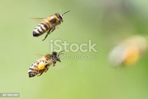 istock bee 831884382