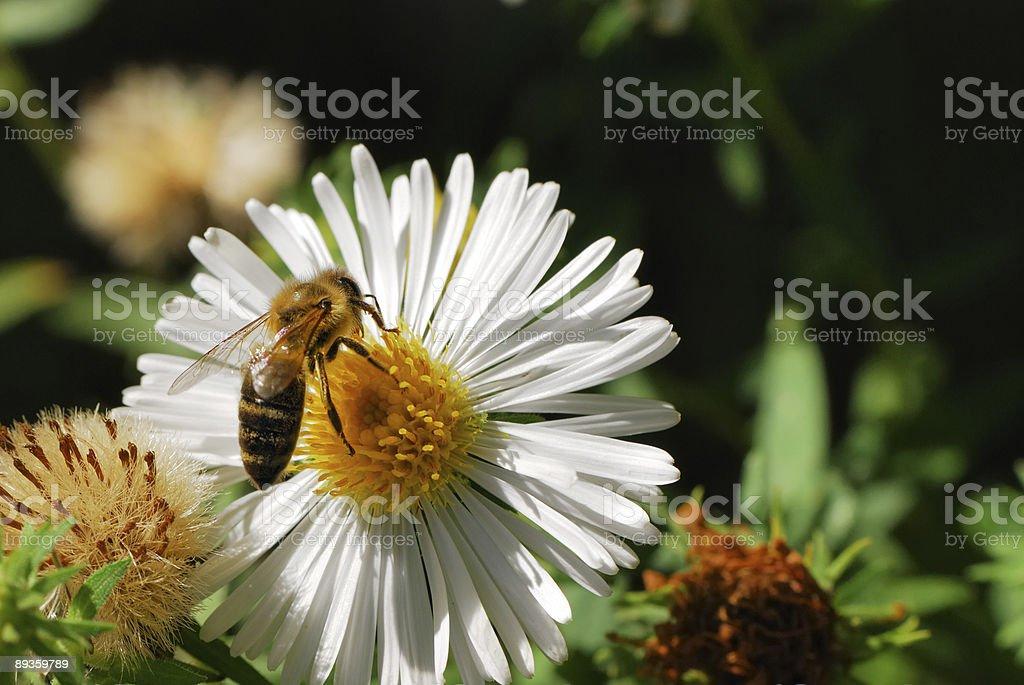 Pszczoła zbiór zdjęć royalty-free