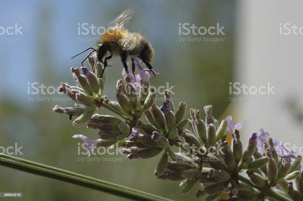 Bee royalty free stockfoto