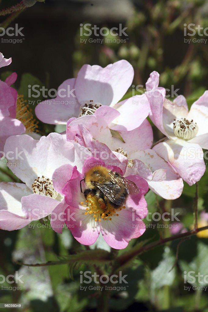 꿀벌 royalty-free 스톡 사진