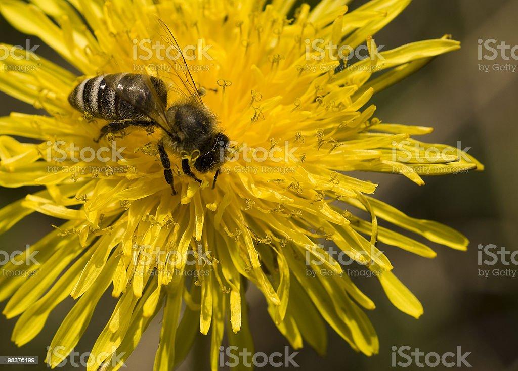 Bee. royalty-free stock photo