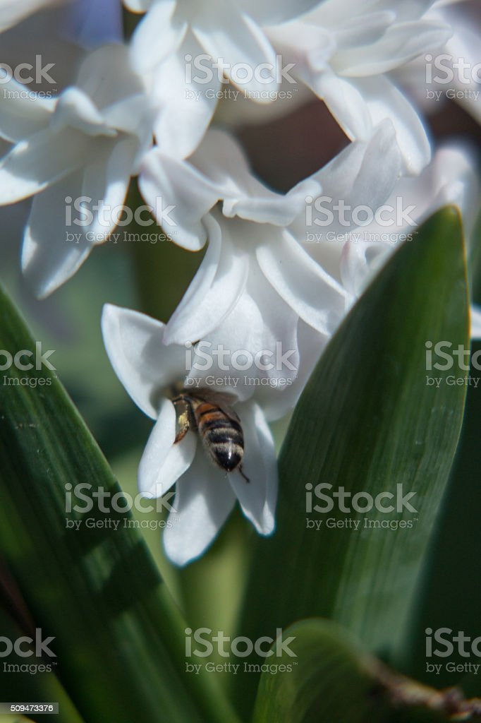 bee pollenating in hyacinth flower royalty-free stock photo