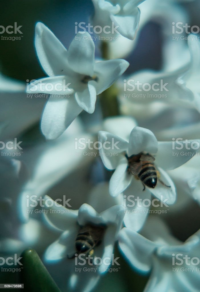 bee pollenating in hyacinth flower stock photo