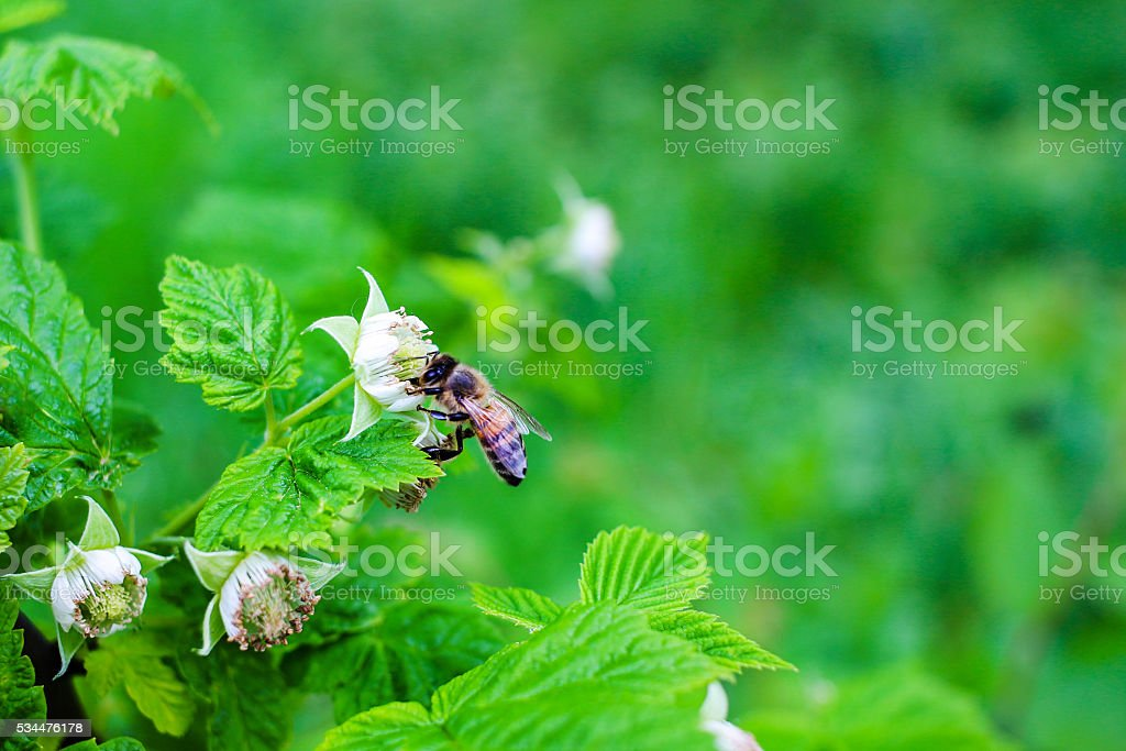 Bee pollinate on flower of raspberry, nature background. stock photo