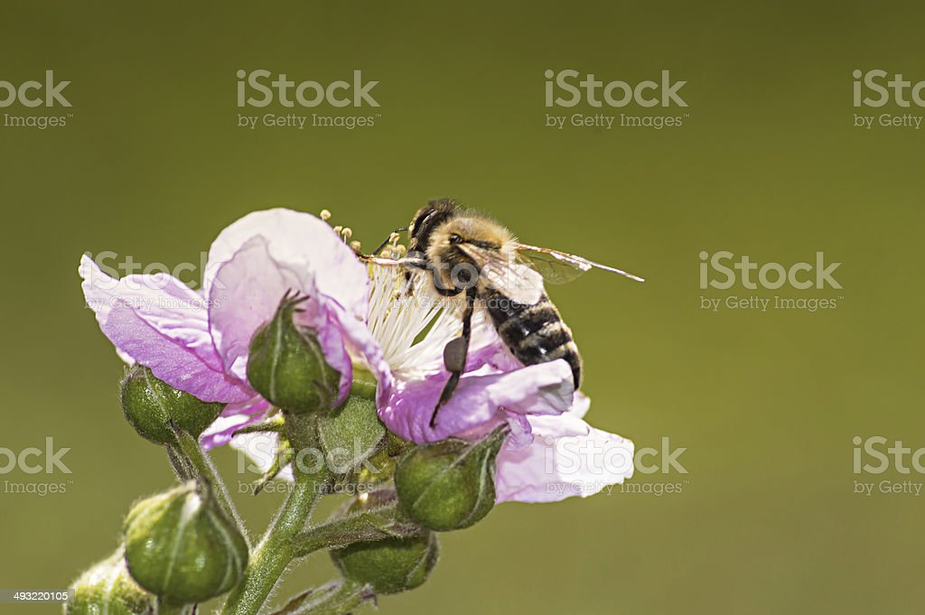 Bee pollinated blooming blackberry. stock photo