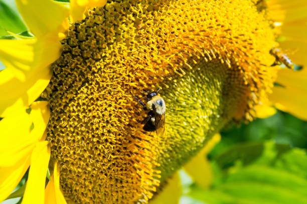 A bee pollinates a sunflower stock photo
