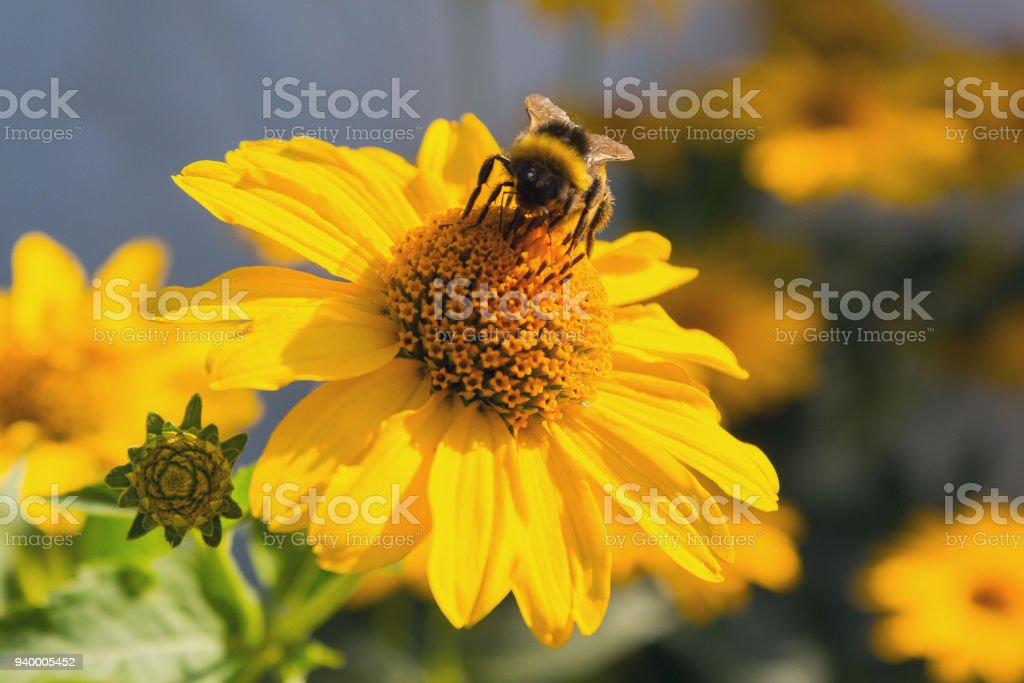 Bee pollinates a yellow flower close-up. Nature stock photo