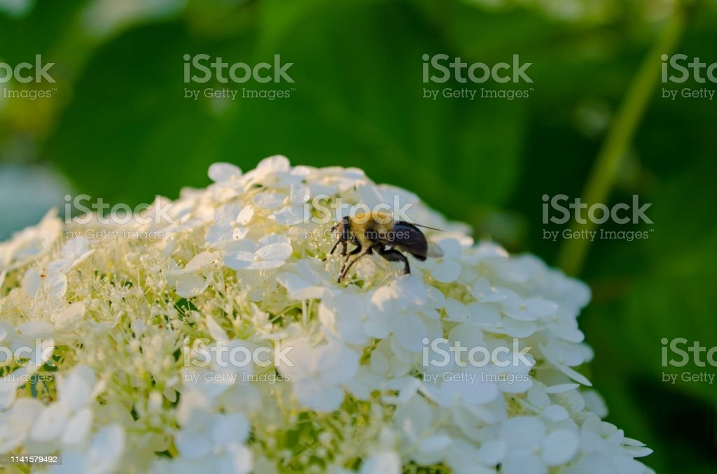 A bee pollinates on a white flower stock photo