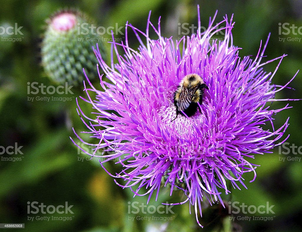 Bee Pollinating a Bull Thistle Plant stock photo