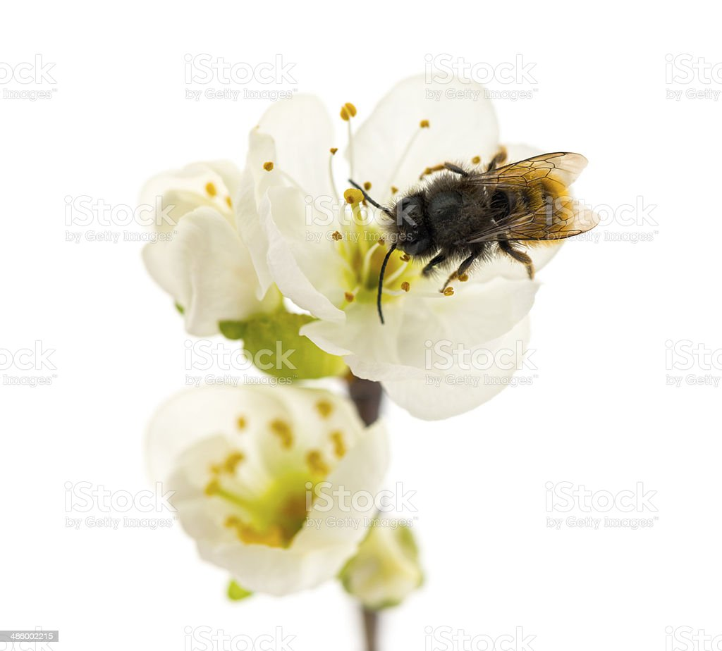 Bee pollinating a flower - Apis mellifera, isolated on white stock photo