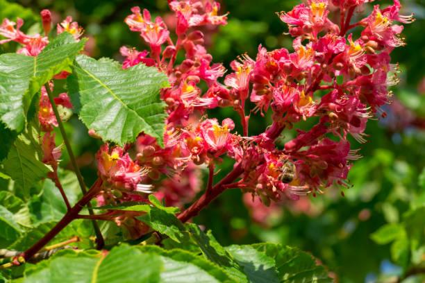 eine biene eine blüte der roten rosskastanie baum bestäuben - kastanienhonig stock-fotos und bilder