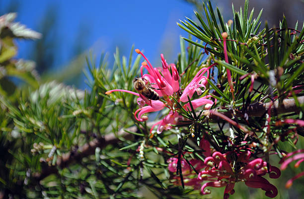 Bee Pollinating a Grevillea 'Canberra Gem' Bee Pollinating a Grevillea 'Canberra Gem' neilliebert stock pictures, royalty-free photos & images