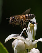 This is a picture of a bee pollinating a lemon flower near my house