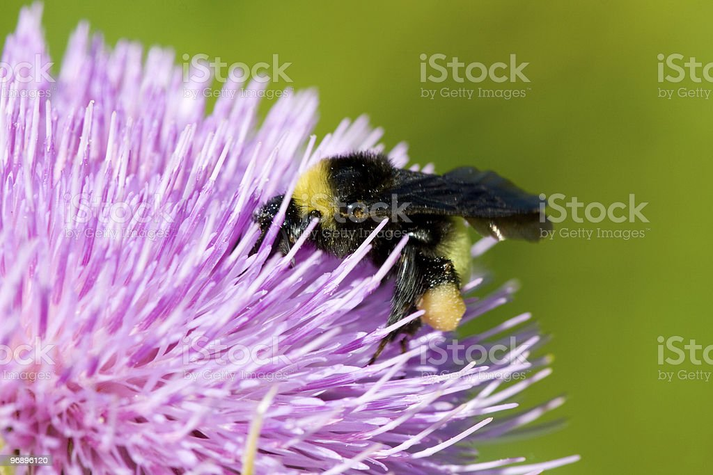 Bee pollinating a pink flower royalty-free stock photo