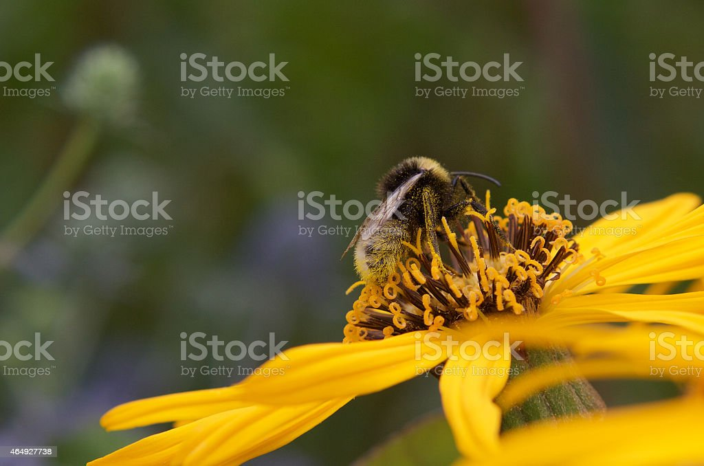 Bee Pollinating a yellow flower, summer royalty-free stock photo
