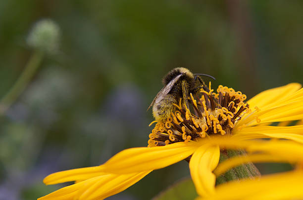 Bee Pollinating a yellow flower, summer stock photo
