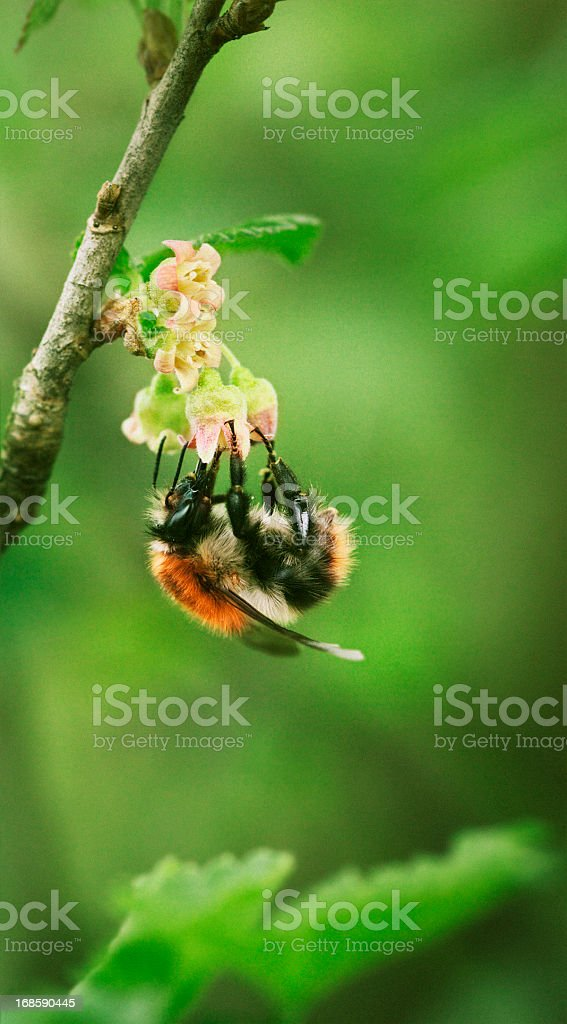 bee pollinating black currant flower royalty-free stock photo