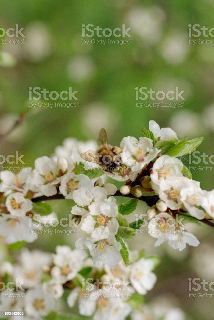 Pszczoły zapylające kwiaty wiśni. Nakręcony na filmie - Zbiór zdjęć royalty-free (Bez ludzi)