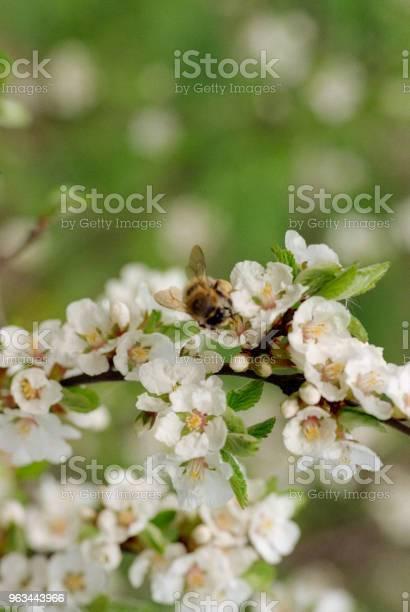 Pszczoły Zapylające Kwiaty Wiśni Nakręcony Na Filmie - zdjęcia stockowe i więcej obrazów Bez ludzi