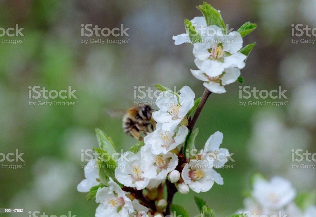 Fleurs de cerisier pollinisateurs abeille. Tourné sur pellicule - Photo de Abeille libre de droits