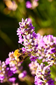 Bee pollinating lavender lavandula flowers on a warm summers day